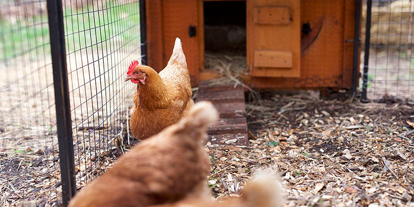 Richmond city council split on backyard chickens