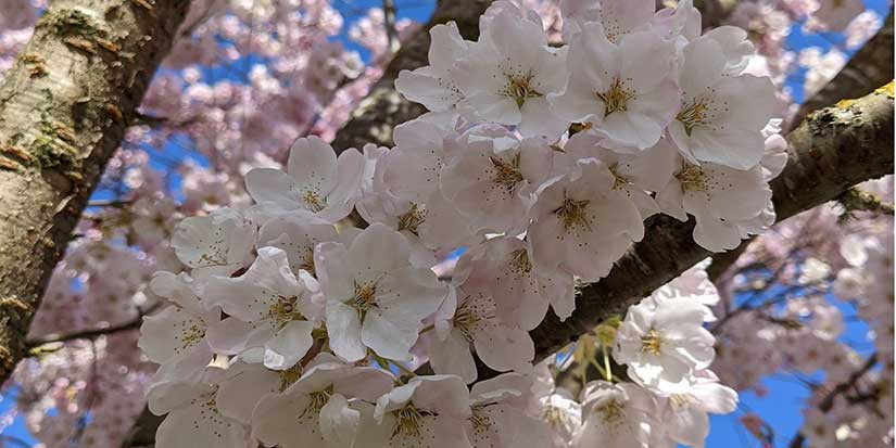 Cherry blossom festival offers hope for all